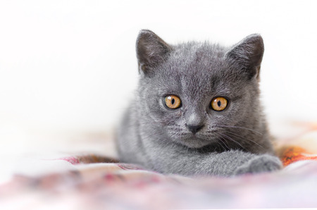 adorable British blue shorthair kitten