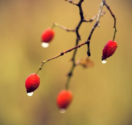 dried rosehips wet in the rain with drops of water. vintage effect