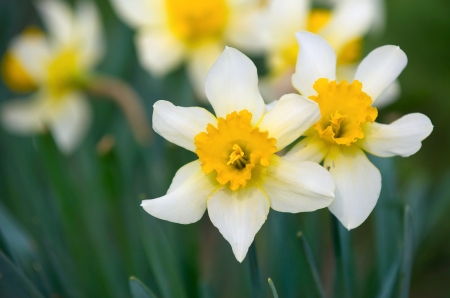 Narcissus in the Garden closeup