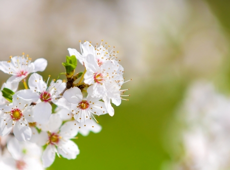branch of blossoming plum close up