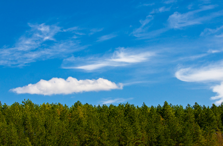 landscape of pine forest with blue sky and white clouds