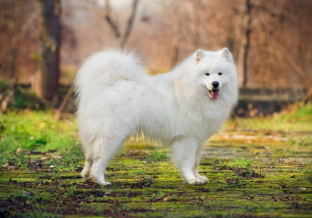 beautiful Samoyed in the woods Stock fotó