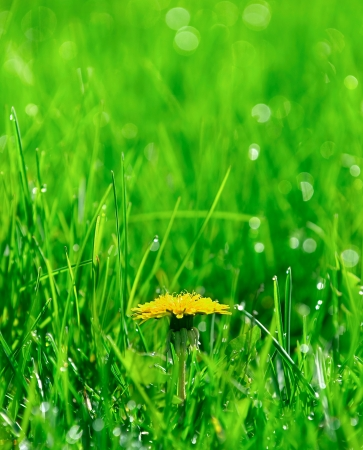 yellow dandelion on green meadow with dew