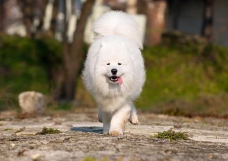 Samoyed running with high speed