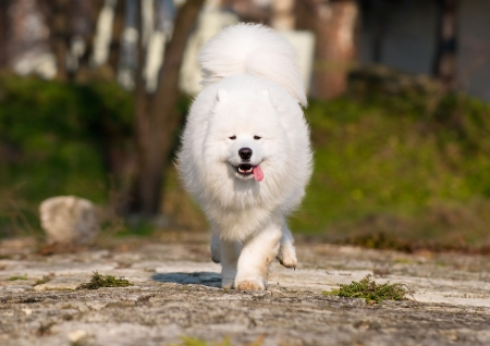 Samoyed running with high speed