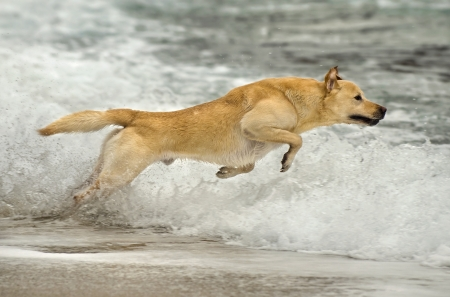 beautiful male Labrador retriever jumping in the water photo