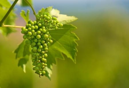 young  green grapes closeup