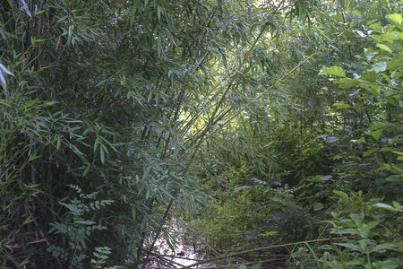 Green bamboo forest Banque d'images