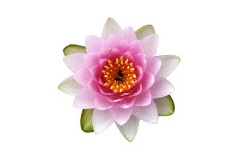pink flowers: lotus flower