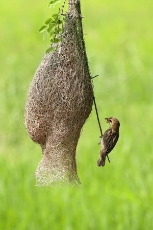 weaver bird nest: The weaver bird and its fine nest