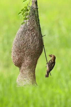 織工の鳥とその罰金の巣