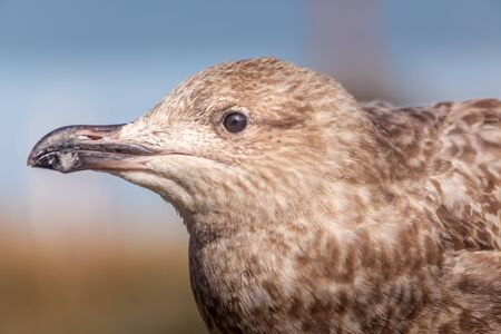 Close Up Very Young Herring Gull