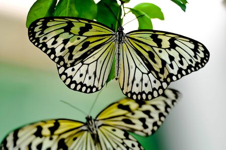 The pair of monarch butterflies were the first couple of the many to be attracted to the small tree at the local butterfly farm  Penang, Malaysia Stock Photo - 14651650