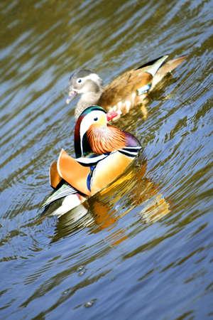A pair of mandarin ducks on water