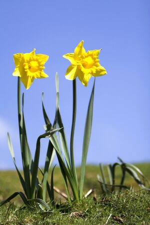 jonquil: Spring daffodils in sunlight set against blue sky Stock Photo