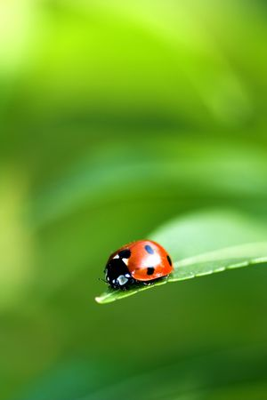 ladyfly: Ladybird bug on a leaf with green background