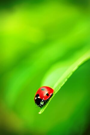 ladyfly: Ladybug on the end of a green leaf Stock Photo