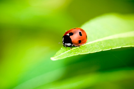 saturated color: Ladybug balanced on a bright green leaf