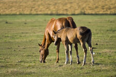 Mare and foal in a meadow at dusk photo