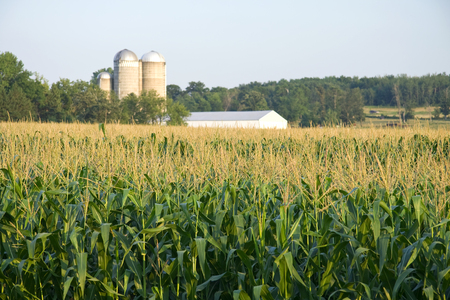 Maize field with silo and farm in distance Stock Photo - 1536414