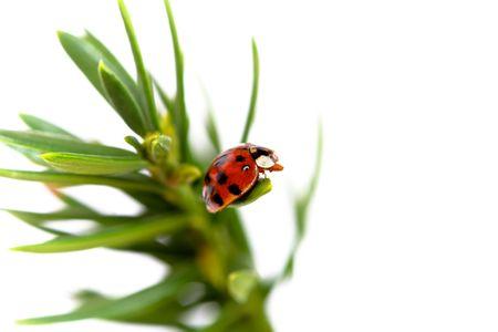 Ladybug on green pine branch against white background Banco de Imagens