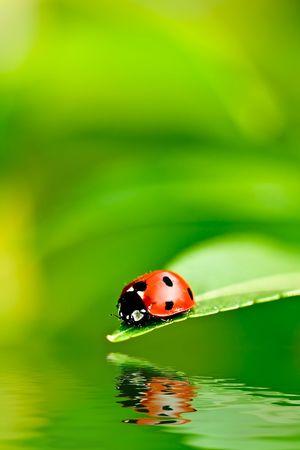 Il ladybug su un foglio ha riflesso su acqua