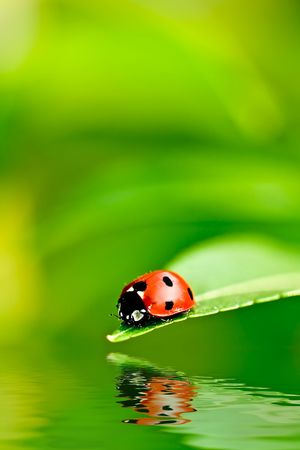 bug's: Ladybug on a leaf reflected on water