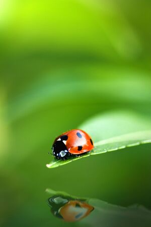 Ladybird bug on a leaf with green background Stock Photo - 2515650