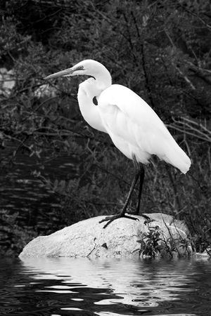 White egret standing on rock over water Stock Photo - 2515683