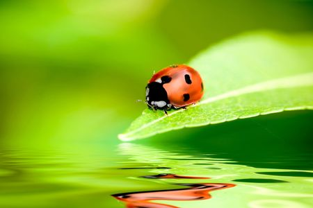Ladybug balanced on a bright green leaf with reflection Stock Photo - 2515682