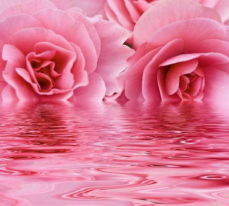 Two pink roses reflected over water