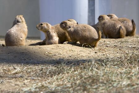 burrows: Prairie dogs looking out of their burrows