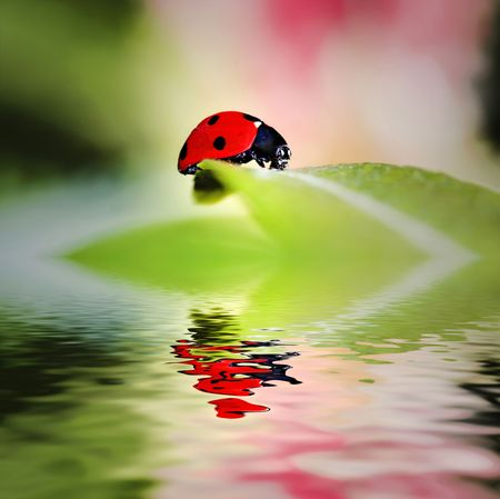 ladyfly: Ladybird bug on a leaf with green and pink background Stock Photo
