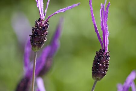 Wild lavender growing in a country field