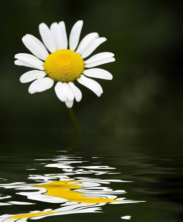 Single daisy in high contrast with reflective water