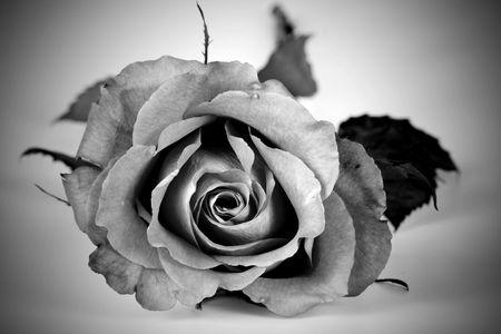 Bella y rom�ntica rosa rosa en blanco y negro Foto de archivo - 3841040