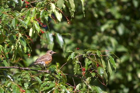 American robin sitting in a tree with berries photo