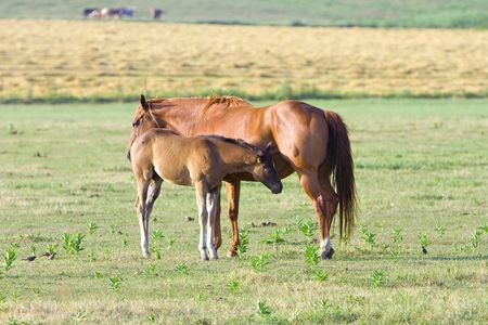 Mother horse with foal in meadow photo