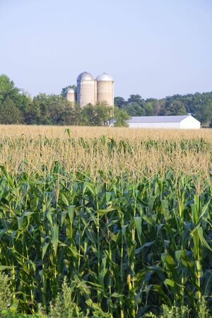Summer corn growing in a field with farm in background Stock Photo - 4252616