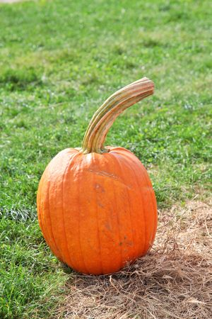 large pumpkin: One large pumpkin sitting in field