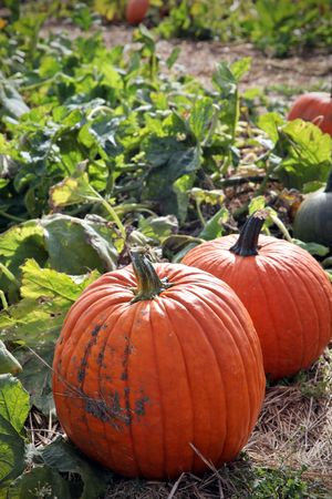 pumpkin patch: Large pumpkins sitting in field Stock Photo