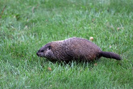 sitting on the ground: Marmota monax groundhog in a field of green grass