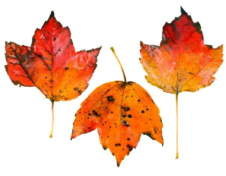 Three fall leaves isolated on white background photo
