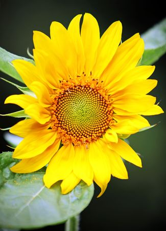 contrast: One sunflower shot in high contrast color Stock Photo