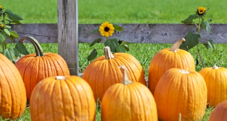 Pumpkin patch field on a farm in the fall