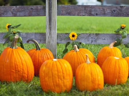 Pumpkin patch field on a farm in the fall