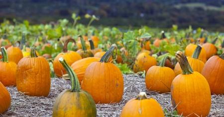 large pumpkin: Pumpkin patch field on a farm in the fall
