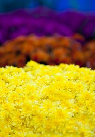 Vibrant yellow, orange, purple and blue chrysanthemums