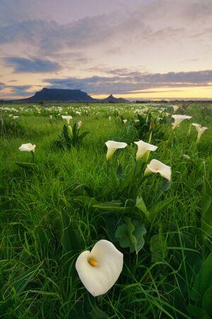 rainfall: Arum Lillies with Table Mountain Stock Photo