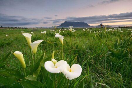 arum: Arum Lillies with Table Mountain Stock Photo